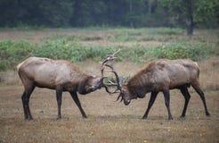 争吵的公牛麋 图库摄影