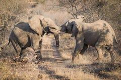 争吵的大象, Balule储备,南非 免版税库存图片