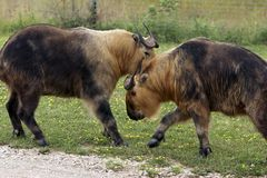 争吵的扭角羚 库存图片