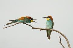 争吵的食蜂鸟 免版税库存图片