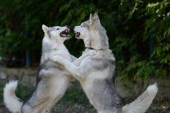 争夺两狗-相等的竞争者 免版税库存照片