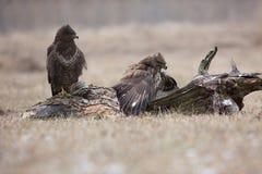 争夺食物的两共同的肉食(鵟鸟鵟鸟) 库存照片