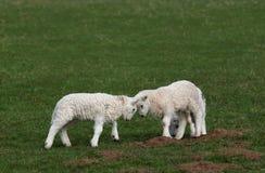 争斗羊羔 图库摄影