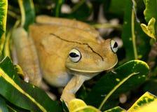争论者Treefrog, Hypsiboas rosenbergi 库存照片