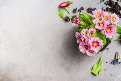 从事园艺或装壶的桃红色樱草属花在灰色石背景,顶视图 免版税库存图片