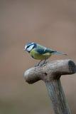 从事园艺的伟大的山雀 库存照片