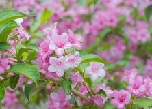 从事园艺的欢迎锦带花世界  免版税图库摄影