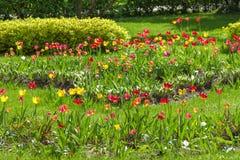 从事园艺许多郁金香 免版税库存照片