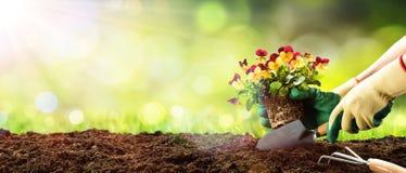 从事园艺-种植蝴蝶花 库存图片