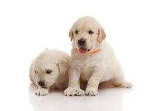 两个月的矮小的金毛猎犬 免版税库存图片