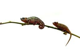 二个变色蜥蜴 免版税库存图片