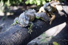 二个变色蜥蜴 免版税库存照片
