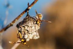 二个大黄蜂 库存图片