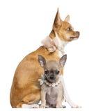 二个奇瓦瓦狗小狗, 4个和7个月 免版税库存照片