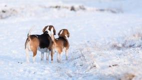 二个小猎犬 库存照片