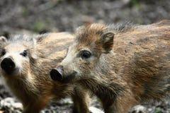 二个小猪 库存照片