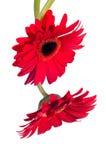 二个红色从顶层的大丁草花 免版税库存照片