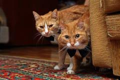 二个红色猫 免版税图库摄影