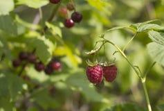二个莓 图库摄影