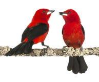 在分支栖息的二个巴西人唐纳雀 库存图片
