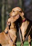 二个狗朋友 图库摄影