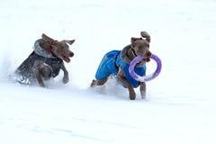 二个weimaraner狗运行和作用 库存照片