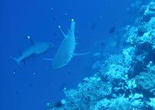 二个whitetip鲨鱼 免版税图库摄影