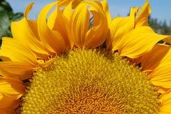 二分之一一个开花的向日葵 库存图片