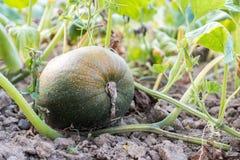二分之一成熟绿色橙色南瓜培育品种在藤增长在叶子下在庭院,南瓜属pepo里 库存照片