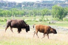 二北美野牛 免版税库存照片