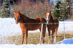 二匹幼小芬兰人马 免版税库存图片