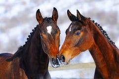 二匹幼小马纵向  免版税库存图片