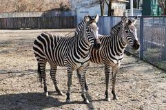 二匹斑马在动物园里 免版税库存图片