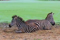二匹斑马选择  库存照片