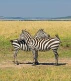 二匹斑马,马塞语mara,肯尼亚 免版税库存照片