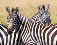 二匹斑马,马塞语mara,肯尼亚 库存图片