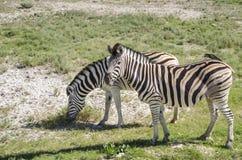 二匹斑马 库存照片