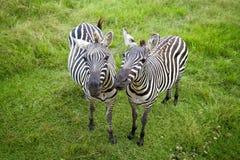 二匹斑马 免版税图库摄影