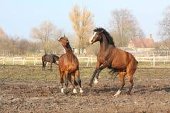 二匹棕色马战斗 免版税库存照片