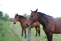 二匹棕色马 库存图片