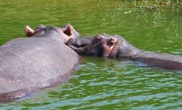 二匹河马在乌干达 库存照片
