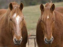 二匹逗人喜爱的马 免版税图库摄影