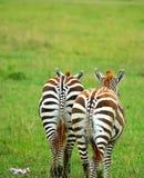 二匹野生斑马 免版税库存照片
