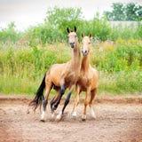 二匹马作用 免版税库存照片