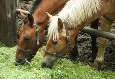 二匹马吃 图库摄影