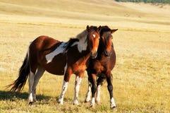 二匹马在蒙古 免版税库存照片