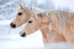 二匹马纵向在冬天。 图库摄影