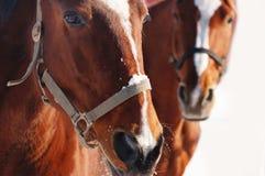 二匹马纵向在冬天 库存照片