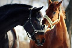 二匹马 库存图片
