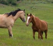 二匹马 库存照片